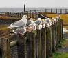 Seagulls on the fence