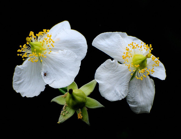 WILD WHITE ROSES AND A FLY