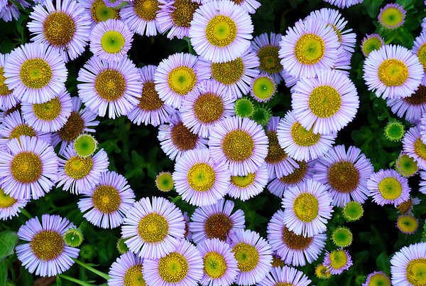 WILD DAISYS LOOKING BACK AT YOU