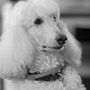 Saint Timothy, Standard Poodle.