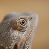 Closeup eye focus of Bearded Dragon lizard reptile tan color with tan background