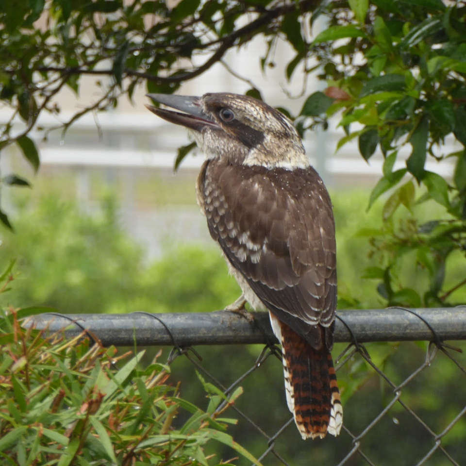 Kookaburra enjoying the rain