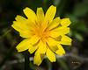 Alpine Dandelion
