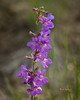 RockyMountainPenstemon02