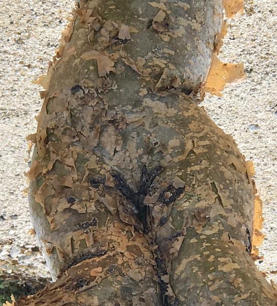 Tree as nude woman- Cabo San Lucas