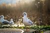 black headed gull - ゆりかもめ