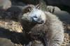Raccoon dog - たぬき