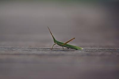 grasshopper - ばった