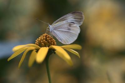 yellow flower - こひまわり