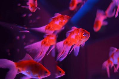 goldfish - きんぎょ