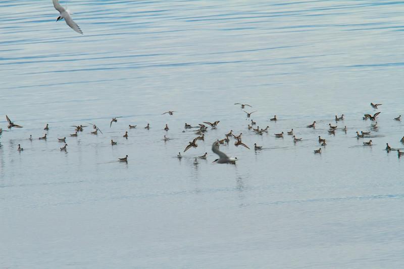 Arctic Terns and Phalaropes, South East Alaska