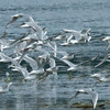 Bonaparte's Gulls, Pack Creek, Alaska