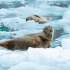 seals on ice flows