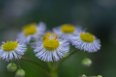 common fleabane - 春紫苑