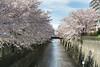 shower of blossom - 桜吹雪
