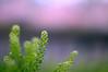 arabidopsis - ぺんぺんぐさ