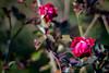 Rosa chinensis 'semperflorens'