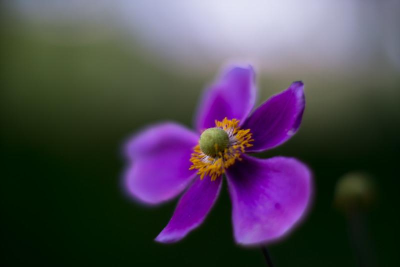anemone hupehensis - しゅうめいぎく