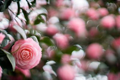 camellia - 椿