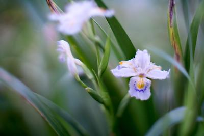fringed iris - 射干 しゃが