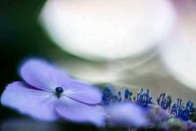 hydrangea - あじさい