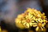farfugium japonicum - つわぶき