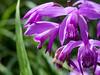 bletilla - 紫欄