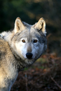 Duma, UK Wolf Conservation Trust