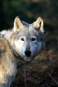 Duma, UK Wolf Conservation Trust
