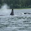 Orca Pod at Pack Creek, Alaska