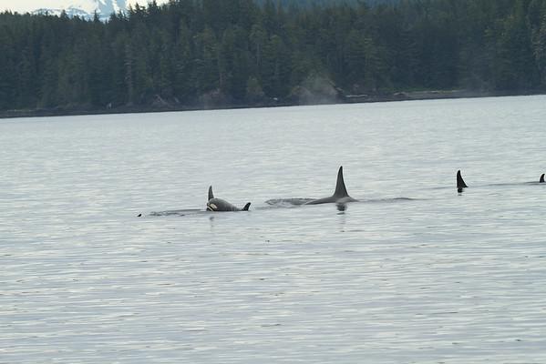 Orca Pod - South East Alaska