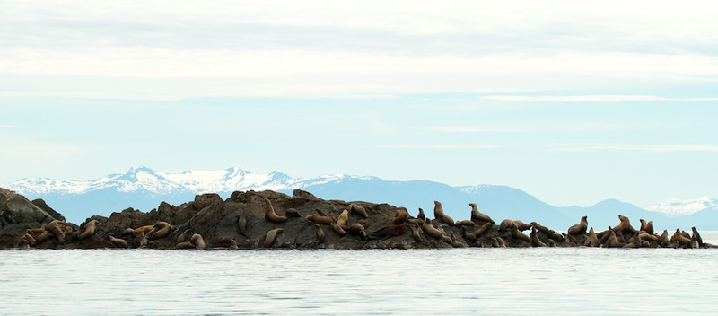 Sea Lion Haul Out, Alaska