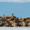 Sea Lion haul out