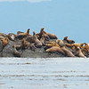 Sea Lion Haul Out - South East Alaska