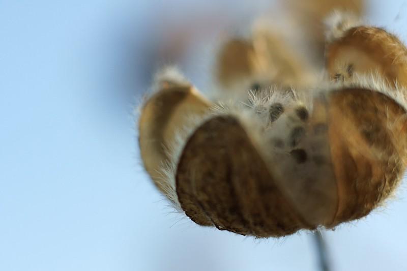 Hibiscus mutabilis  - ふよう
