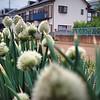 spring onion - ねぎ