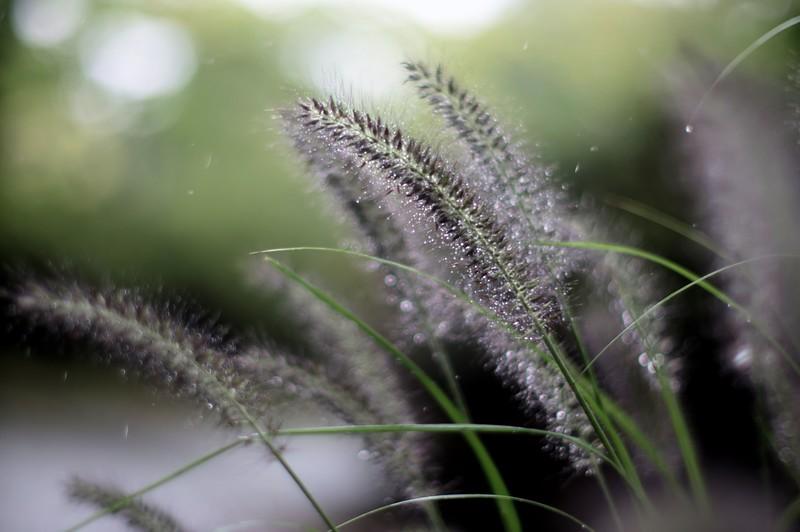 pennisetum - ちからしば