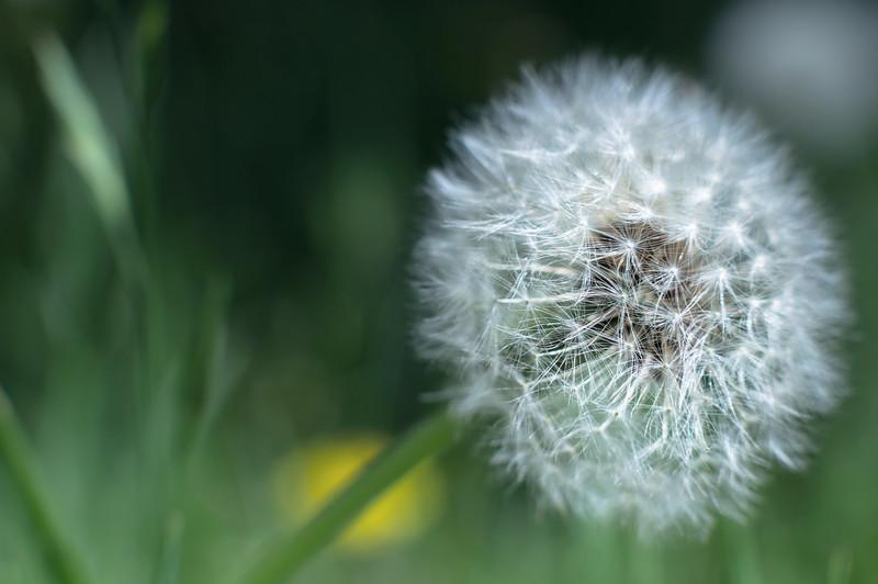 dandelion - たんぽぽ