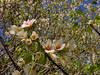 blossomsdesktop