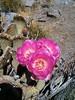 Mt. Jenkins summit bloomin cactus.
