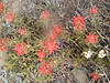 Indian Paintbrush near the summit.