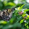 Paper Kite Butterfly on Bouganvillia