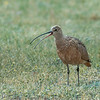 Curlew Out Walking in the Rain