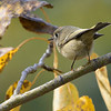 A Speedy Ruby Crowned Kinglet