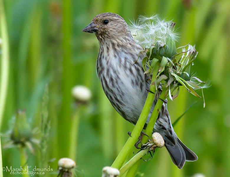 Pine Siskin with Dandelion Seed Bouquet