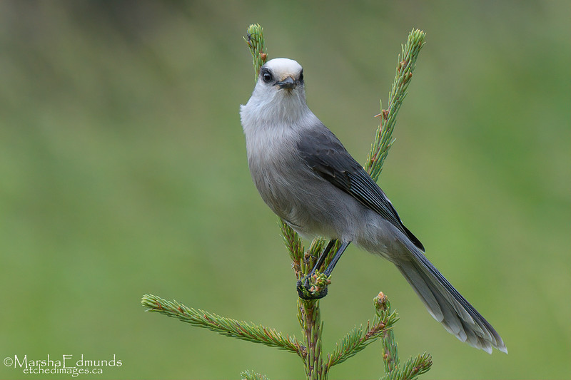 Canada Jay On Top of a Very Young Conifer