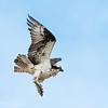 Osprey With a Rainbow Trout
