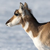 A Young Doe - Pronghorn