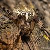 Shamrock Orb Weaver