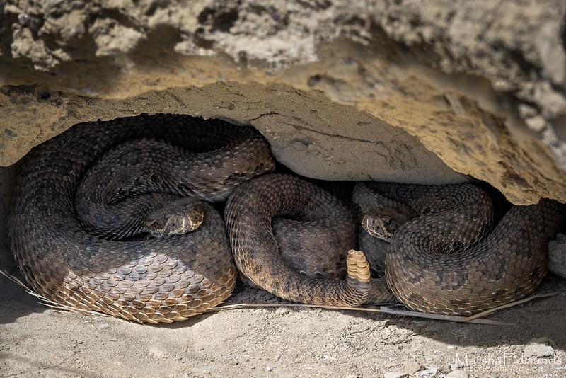 Amazing Contours - Prairie Rattlesnake